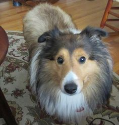 Meet Archie, a Petfinder adoptable Shetland Sheepdog Sheltie Dog   Powell, OH   Archie is a 8 year old sable and white sheltie that was surrendered to TSCR after his elderly...