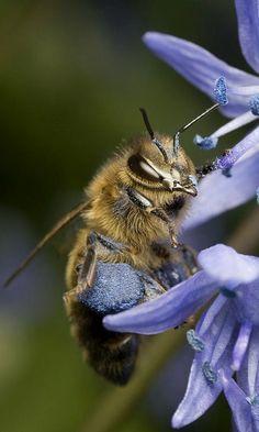 Blue Bee ~ by Alliec