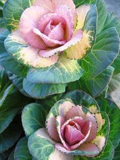 ✯ Sunrise Kale
