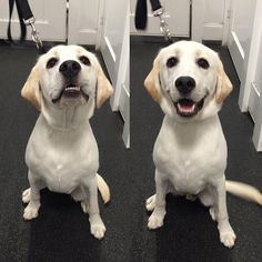 Meet our new member, Jack! A 7-month old #labrador #puppy :) Welcome to Fitdog!