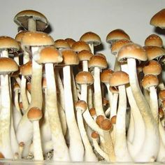 M Psilocybe Golden Teachers Golden Teachers Mushroom Grow Kit, Mushroom Art, Mushroom Fungi, Psilocybin Mushroom, Mushroom Species, Mushroom Cultivation, Growing Mushrooms, Unique Trees, Mushrooms