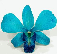 Preserved Natural Blue Orchid Flowers - using these for the center pieces  Save-on-crafts.com Awesome site. Everything you can think of for DIY for cheap.