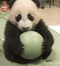 Sweet baby panda playing with is toy!!!