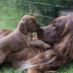 There's something special about a father and baby bond. #IrishSetter #PuppyLove @irish_setter_sixpack