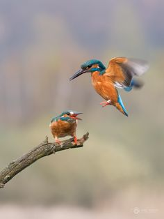 kingfisher -