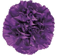 FLORIGENE® Moonshade™ has a true purple colour burst that immediately distinguishes itself from any purple carnation in the market. When the flower begins to open there is a magical change to a bluer colour. A true purple lovers colour.