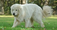 Bud - Great Pyrenees (Rescued January 7th, 2011)