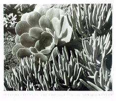 View SUCCULENTS By Edward Weston; Access more artwork lots and estimated & realized auction prices on MutualArt. Edward Weston, Modern Photography, Vintage Photography, Black And White Photography, Minimalist Photography, Color Photography, Henry Westons, Tina Modotti, Famous Photographers