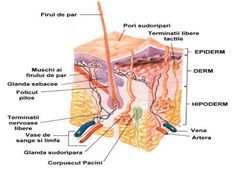 This is a cross section of the epidermis and dermis. It shows the layers of dermis and the other cells present. Skin Anatomy, Anatomy Bones, Facial Anatomy, Human Anatomy, Blood Vessels, Sensory Nerves, Nerve Fiber, Kochen