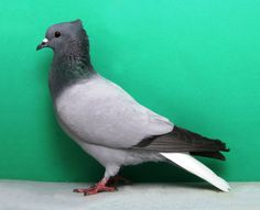 Berne White Tail Pigeon Breeds, White Tail, Beautiful Birds, Animal Photography, Pet Birds, Animals And Pets, Fall, Teaching English, Pakistan