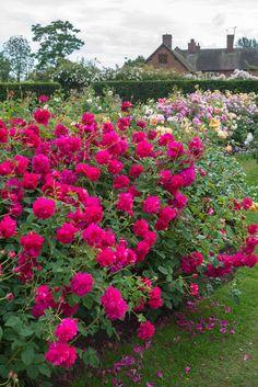 A beleza impressionante de Inglês rosas por David Austin. Discussão sobre LiveInternet - Serviço russo diários on-line