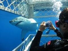 White shark cage diving and surface viewing has become one of South Africa's biggest tourist attractions in the past few years with most of the White Shark Dive operators working out of Gansbaai, just a few minutes' drive from Hermanus.