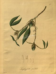 plants-18755 scaphyglottis pendula  botanical floral botany natural naturalist nature beautiful nice flora plants blooming ArtsCult.com Artscult ArtsCult vintage printable public domain 300 dpi commercial use 1800s 1700s 1900s Victorian Edwardian art clipart royalty free digital download picture collection pack paintings scan high qulity illustration old books pages supplies collage wall decoration ornaments Graphic engravings lithogra