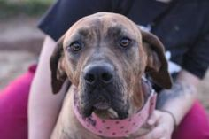 Sugar *Foster Needed* is an adoptable Fila Brasileiro Dog in Christiana, TN. Im Sugar. I was rescued from a shelter and am waiting for my forever home! I am working on my leash walking skills and a...