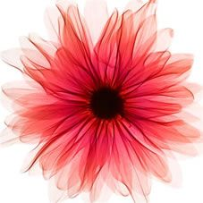Red X-Ray Gerbera Picture 002154