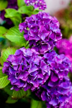I love all the stages of my hydrangea. They turn deeper and more purple as they start to fade. Hortensia Hydrangea, Hydrangea Garden, Hydrangea Flower, Amazing Flowers, Purple Flowers, Beautiful Flowers, Ikebana, Purple Garden, Plantar