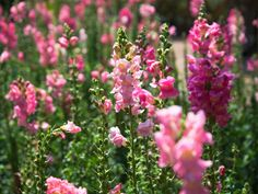 How to grow hardy annuals.