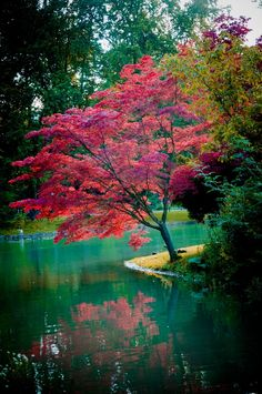 Japanese maple on the water's edge