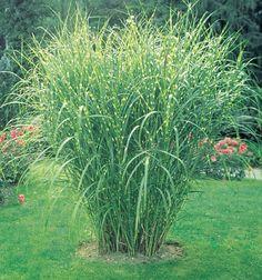 Ornamental Grass Landscape, Tall Ornamental Grasses, Perennial Grasses, Perennials, Spring Hill Nursery, Coastal Gardens, Bulb Flowers, Planting Flowers, Backyard