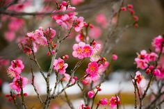 #redplumblossoms #flower  #flowers #ig_flowers #superb_flowers #FlowerStalking #wp_flower #wintergram  #紅梅
