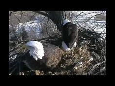 This is a great website. http://www.ustream.tv/decoraheagles   I watched the hatch of the eagles live last year and can't wait for this years laying of eggs and hatch.