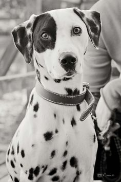 Frida, dalmatian, lovely dog - by Kimmie Lima Puppy Dogs Hound Pups Hunting Puppies