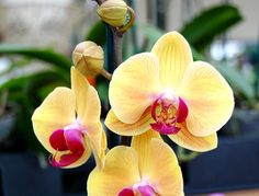 The Phalaenopsis Orchid:  the only kind I can grow!