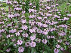 "Phlomis tuberosa ""amazone"" Trees And Shrubs, Trees To Plant, Outdoor Plants, Garden Plants, Sage Plant, Tree Identification, Alpine Plants, Herbaceous Perennials, Lilac Flowers"