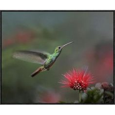 "Global Gallery Rufous-Tailed Hummingbird at Fairy Duster Flower, Costa Rica by Tim Fitzharris Framed Photographic Print on Canvas Size: 22"" H x 28""..."