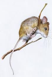 illustrations of mice - Google Search