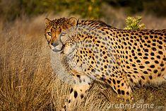 Photo about Cheetah on the hunt - Acinonyx jubatus. Image of claws, cheetah, safari - 25560128 Claws, Cheetah, Giraffe, Safari, Hunting, Southern, Royalty Free Stock Photos, Africa, Animals