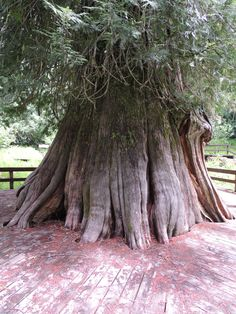 Giant Western Red Cedar Tree - about 3000 years old - 177 feet high. near Elk River, Idaho Plant Fungus, Cedar Trees, Old Trees, Tree Trunks, Walk In The Woods, Tree Forest, Photo Tree, Nature Photos, Trees To Plant