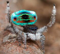 _MG_9917 peacock spider Maratus sarahae   youtu.be/E-nmeYirs…   Flickr