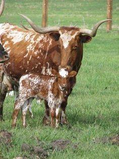 Longhorn momma & calf https://www.facebook.com/Peanutcountry/photos/a.361649227301051.1073741828.361645137301460/709308332535137/?type=1
