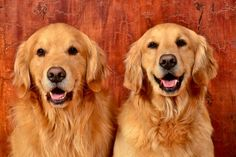 2 of the most beloved pups...Flip and Tink! #Goldens