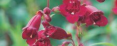 Afbeelding van http://www.groei.nl/files/images/artikelen/Week-27-15-Penstemon-Rich-Ruby-1000px.jpg.