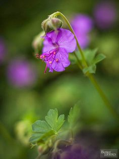 Cranesbill.........Cranesbill Growing 6 to 24 inches tall, Geranium, or cranesbill, looks as good in containers as it does at the border's edge.