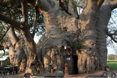 According to scientists, this baobab tree is about 6,000 years old. This makes it one of the oldest living things on earth! This fascinating baobab, located    at Sunland Baobab in Modjadjiskloof, South Africa is home to the Tree Bar as well as a wine cellar.