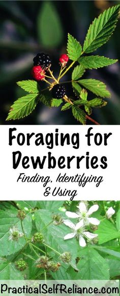 Foraging For Dewberries (Northern Dewberry - Rubus flagellaris)