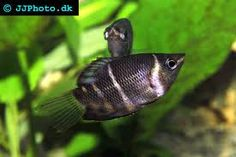 Chocolate gourami - he's on my shopping list too! So pretty!
