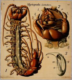 Myriopoda lithobus (Myriopoda - or Myriapoda - is a sub-phylum of Arthropoda^  containing the segmented critters: centipedes and millipedes). BibliOdyssey: 2012-04-01