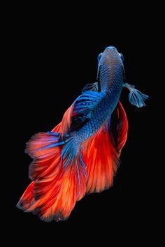 Betta fish by Kidsada Manchinda - Photo 136749443 / 500px