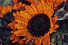 Eastern Market Sunflower