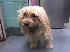 SUPER URGENT  Brooklyn Center MUGGZY – A1039826  ***LARGE ANAL MASS***  MALE, TAN, POODLE TOY, 9 yrs STRAY – ONHOLDHERE, NO HOLD Reason STRAY Intake condition INJ MINOR Intake Date 06/12/2015