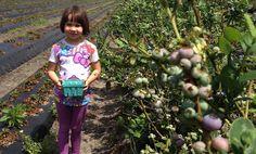 Erysse picks blueberries