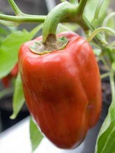 How to grow and harvest Pepper