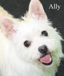 NJ - Ally is an adoptable West Highland White Terrier Westie Dog in Bordentown, NJ. MEET ALLY - AVAILABLE Ally is a beautiful, happy, whirling dervish looking for her Forever Home. Westie Dog, Westies, Corgi, Sealyham Terrier, Whirling Dervish, Terrier Mix Dogs, Poodle Mix, West Highland White, White Terrier