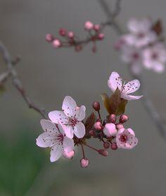 BLOSSOM SOFT FOCUS | by roy2063 Sakura Cherry Blossom, Blossom Flower, Flower Art, Amazing Flowers, Beautiful Flowers, Cactus E Suculentas, Flower Phone Wallpaper, Peach Blossoms, Flower Aesthetic