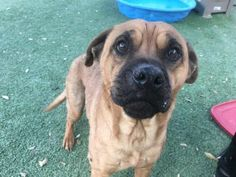 Animal ID 37719571 Species Dog Breed Boxer/Mix Age 2 years 1 month 2 days Gender Male Size Medium Color Brown Spayed/Neutered Site Department of Animal Services, City of El Paso Location Kennel B Intake Date 1/29/2018