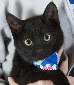 Poor little COAL was the only kitten left in the shelter today. Why, oh why, do people pass up black cats? This little boy is so loving and so playful and so much fun!!! Look at this adorable little face!!! PLEASE, someone adopt this little boy on Saturday, 12-27, the next day we are open. St. Charles City Animal Control. 636-949-3395. Find us by GPS'ing Humane Office - Animal Control.